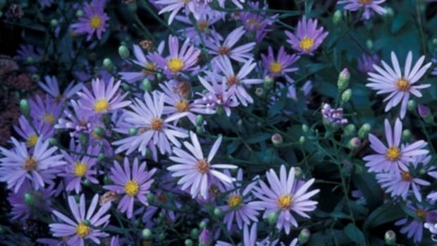 Pairie Aster (Aster turbinellus)