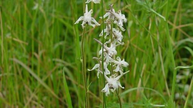 Prairie Larkspur (Delphinium carolinianum subsp. virescens)