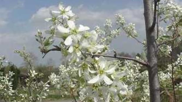 Downy serviceberry (Amelanchier arborea)
