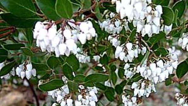 Howard McMinn manzanita (Arctostaphylos densiflora 'Howard McMinn')