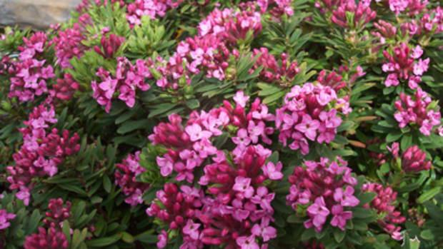 Pink flowers of garland flower