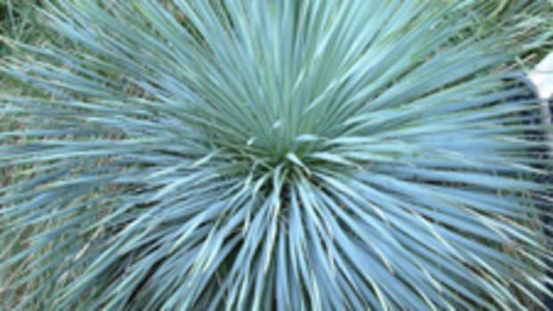 'Sapphire Skies' yucca (Yucca rostrata 'Sapphire Skies')