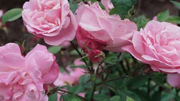 climbing rose old blush