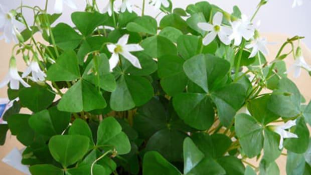 shamrock plant (oxalis)
