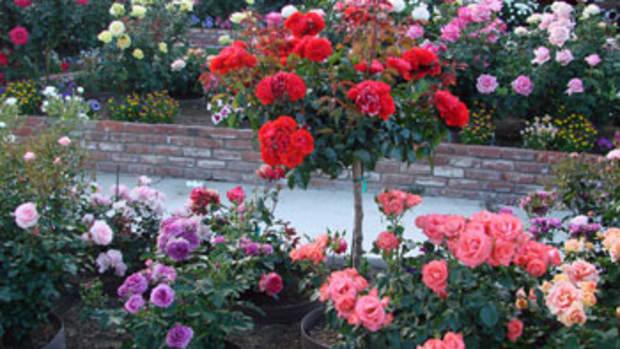'Trumpeter' floribunda rose