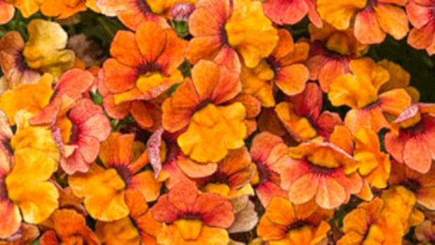 fall flowers nemesia blood orange