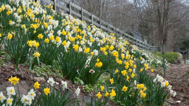 A hillside shows off a mix of daffodil varieties called Spring Loaded by Colorblends.