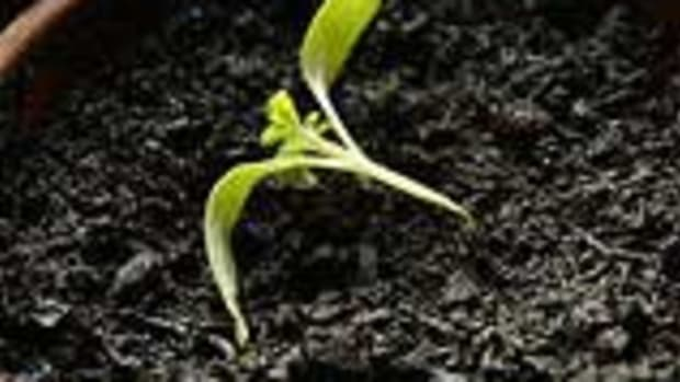 seedling with damping off