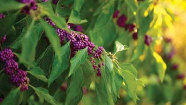 native berries beautyberry