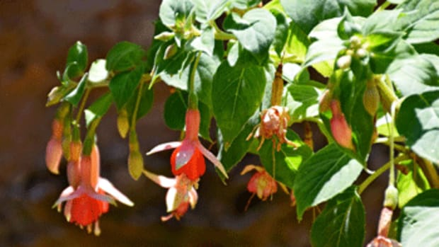 tender perennials fuchsia magellanica
