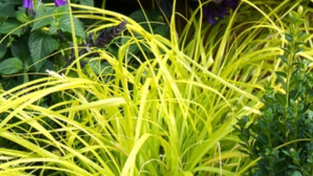 carex northcreeknurseries