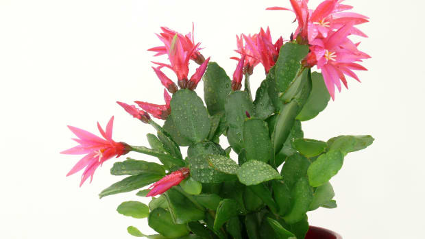 Christmas Cactus Horticulture