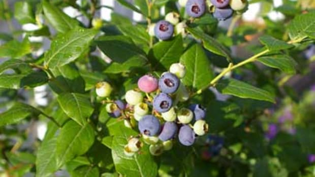 Ripening blueberry plant