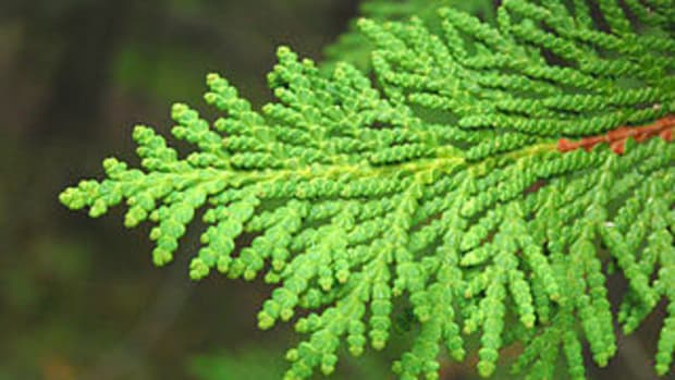 arborvitae leaf