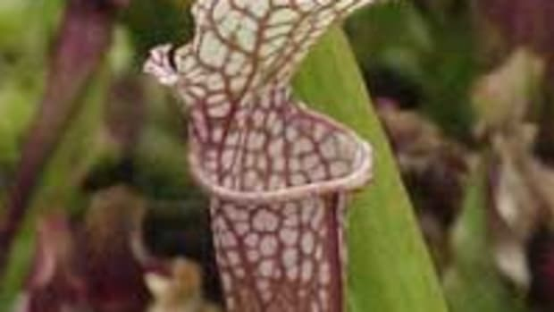 Pitcher Plant sarracenia leucophylla