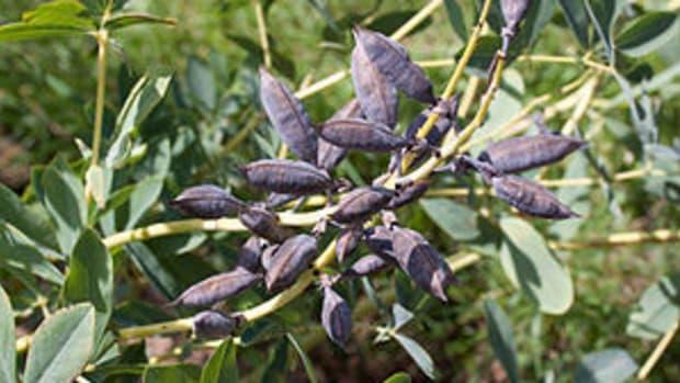 baptisia australis seed pod