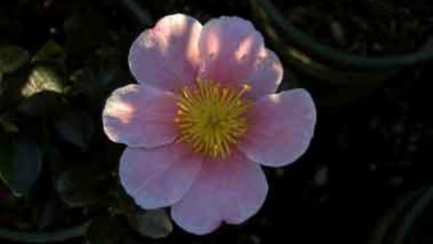 Camellia Pink Yuletide