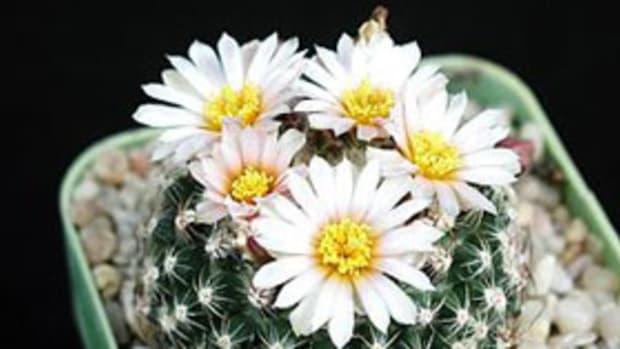 cactus flowering