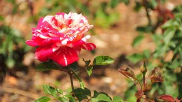 Thornless Rose