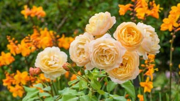 rose companions
