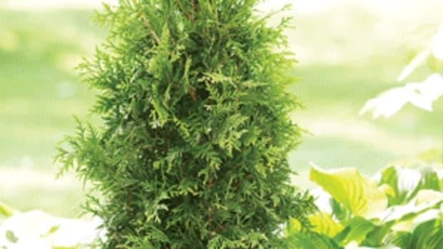 plant arborvitae