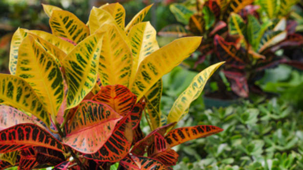 tropical plants croton