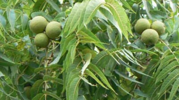 Black Walnut Leaves and Fruit
