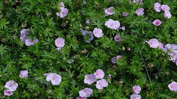 Rhizomatous perennials such as this Geranium sanguineum spread by underground roots.