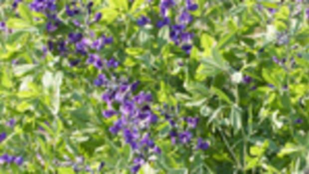 Baptisia blue false indigo