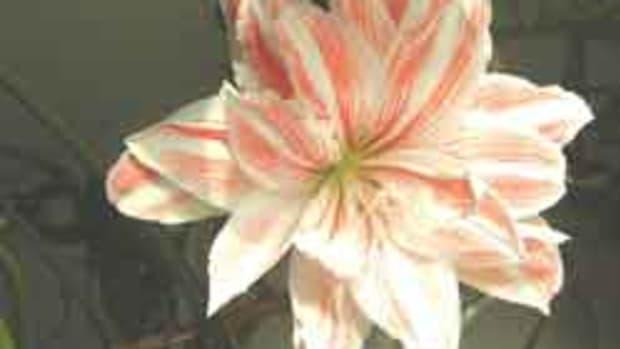 Amaryllis Candy Cane