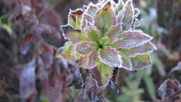 frost on flower