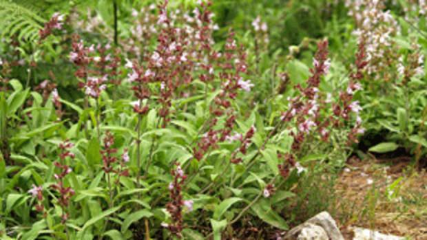 plant perennials salvia officinalis