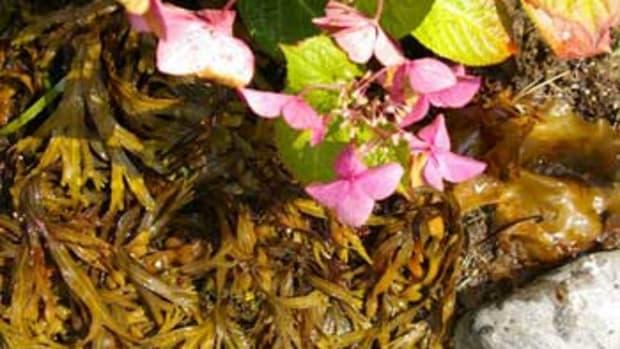 Fertilizing a garden with seaweed