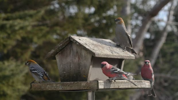 Pine_Grosbeaks_at_a_bird_feeder,_Ontario