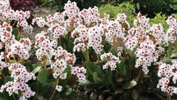 angel kiss bergenia