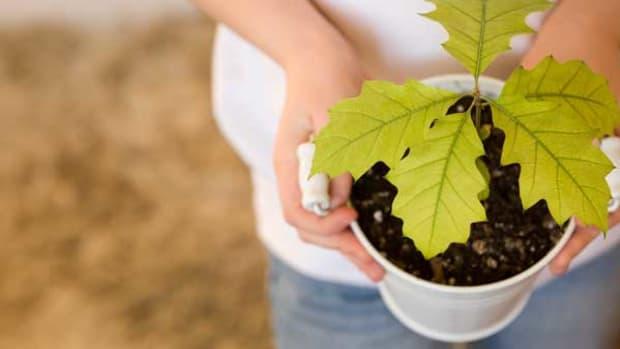 oak trees oak sapling
