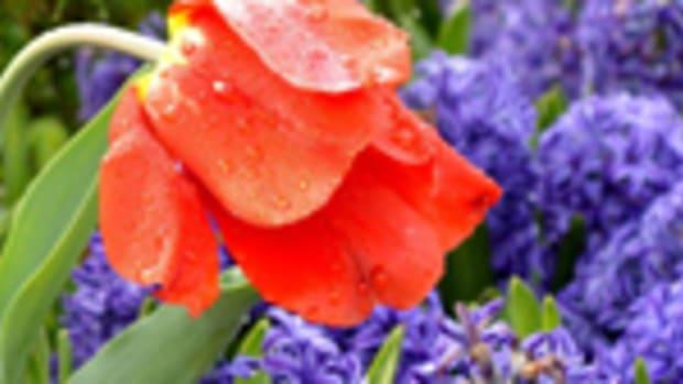 single tulip150