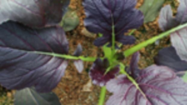mustard Edible Spotlight Horticulture