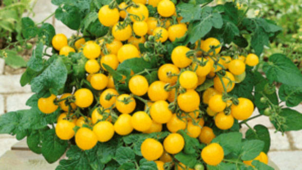'Patio Choice Yellow' is a trailing cherry tomato perfectly suited to a pot.