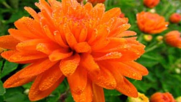 orangemum