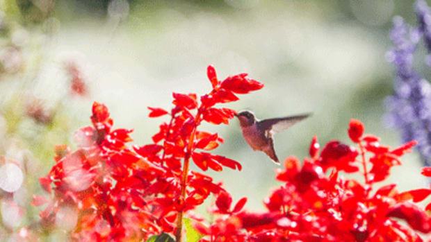 salvia and hummingbird