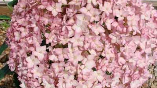 Hydrangea Bella Anna