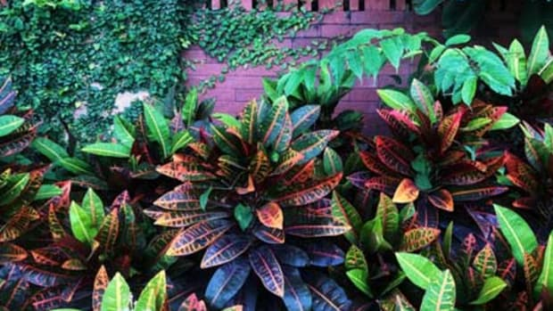 houseplants outside croton