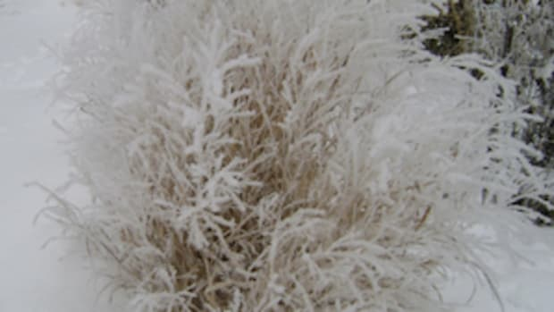 Diane Mumm winter grasses