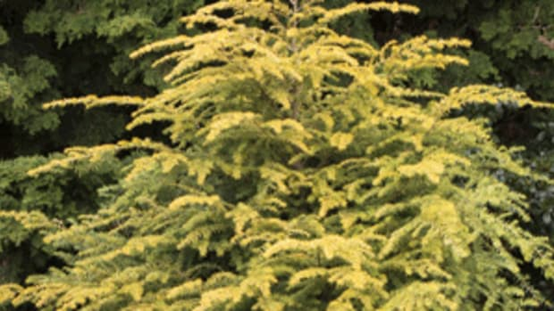 golden duke hemlock