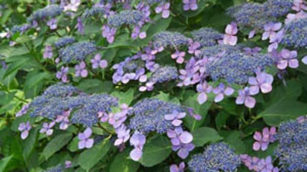 Pruning Hydrangea for Fullness