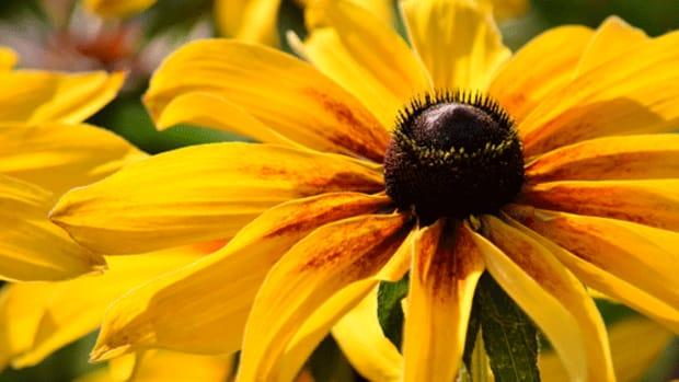 Rudbeckia often self-seeds in the garden.