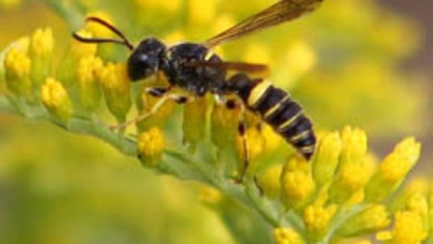 Goldenrod (Solidago) and bee