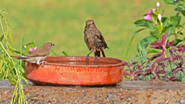 garden birds in birdbath