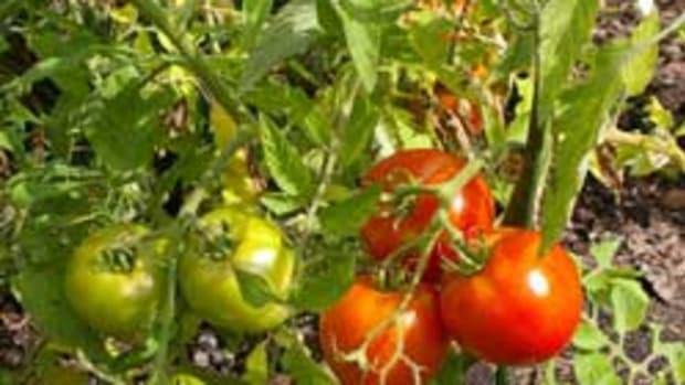 1001_Tomatoes3
